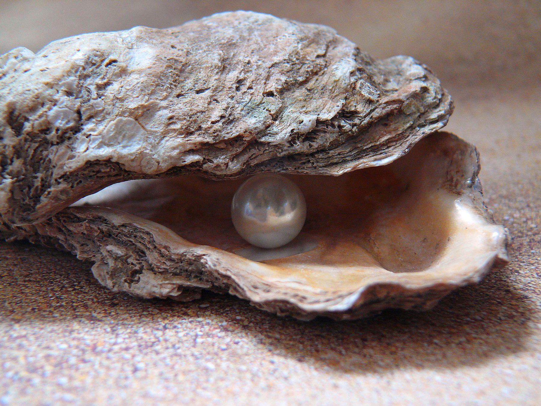 foto van een lege oesterschelp met 1 ronde parel in. Om aan te geven dat parels milieu nauw samenhangend is.